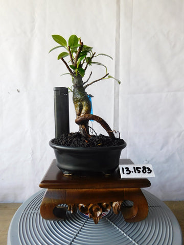 Bonsai Ficus Microcarpa 13.1583 P - bonsaiupdate