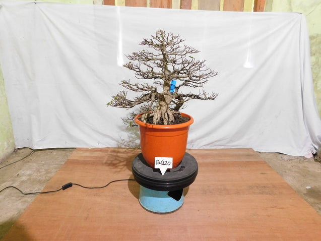 Bonsai Ficus Microcarpa 13.920 EXTRA LARGE - kebunbibit