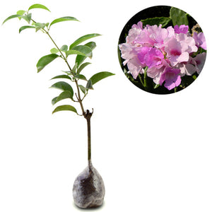 Mansoa Alliacea - kebunbibit