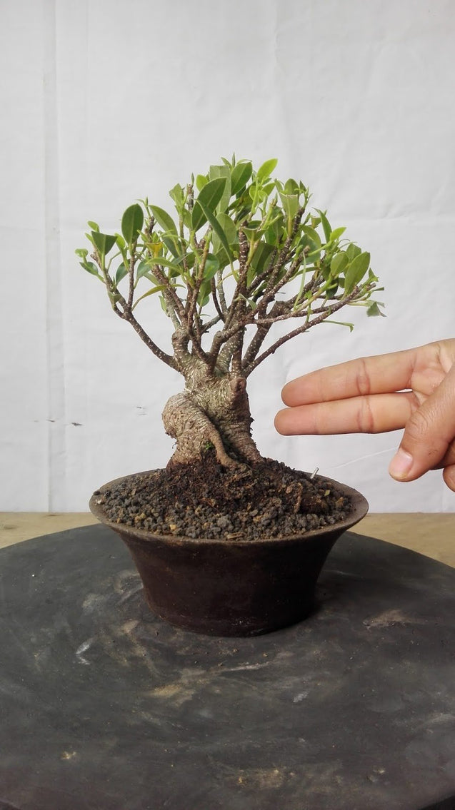 Bonsai Ficus Microcarpa 13.595 - kebunbibit