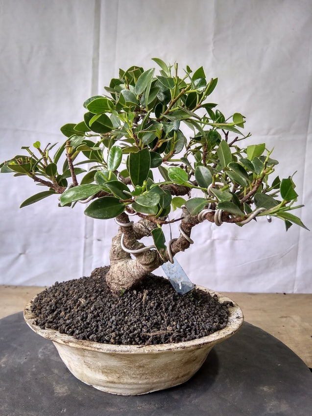 Bonsai Ficus Microcarpa 13.632 - kebunbibit