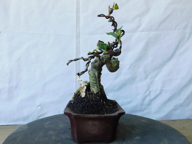 Bonsai Ficus Microcarpa 13.687 - kebunbibit