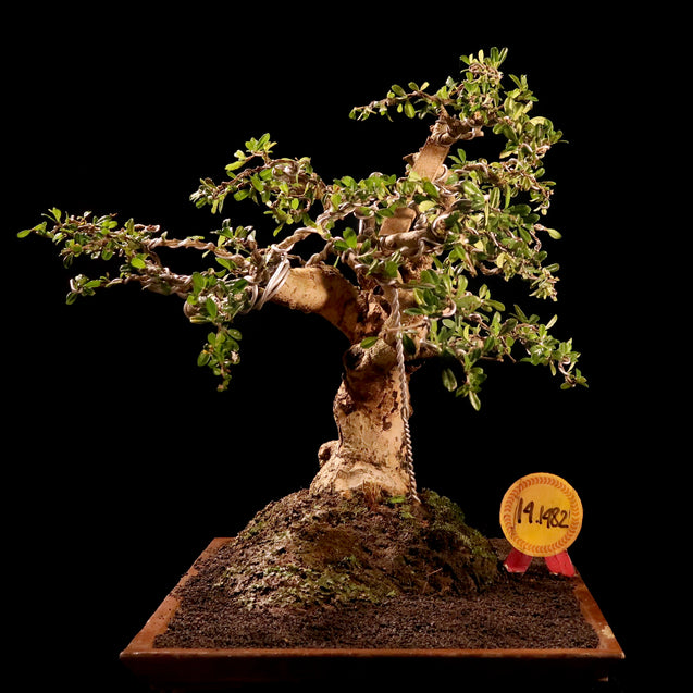 Bonsai Carmona Microphylla 14.1482 - kebunbibit