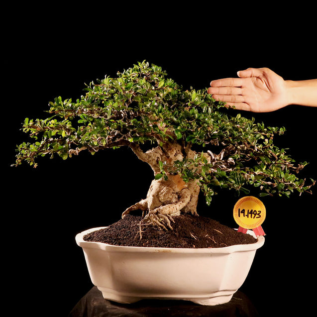 Bonsai Carmona Microphylla 14.1493 - kebunbibit