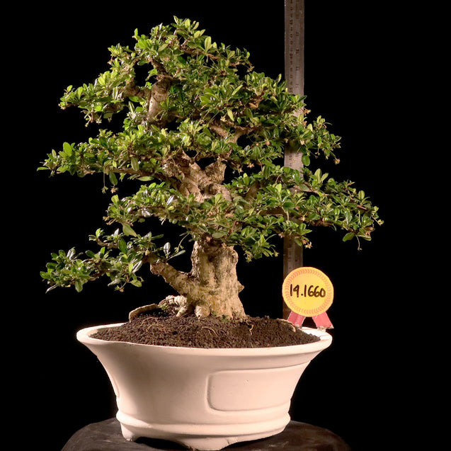 Bonsai Carmona Microphylla 14.1660 - kebunbibit