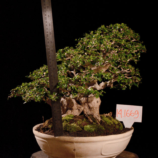 Bonsai Carmona Microphylla 14.1669 - kebunbibit