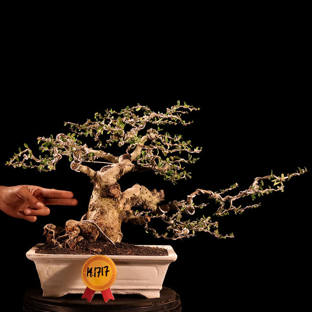 Bonsai Carmona Microphylla 14.1717 - kebunbibit