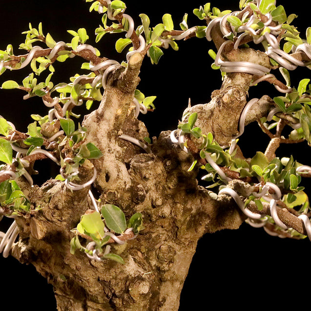 Bonsai Carmona Microphylla 14.1748 - kebunbibit