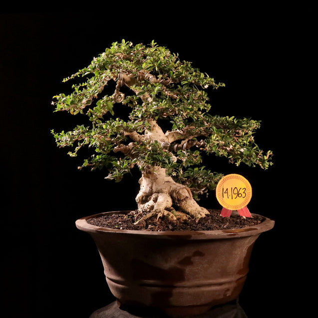 Bonsai Carmona Microphyla 14.1963