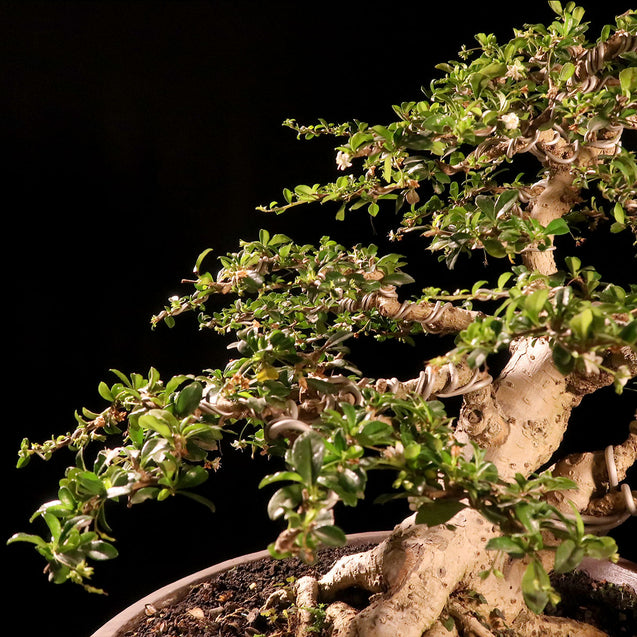 Bonsai Carmona Microphyla 14.1963 - kebunbibit