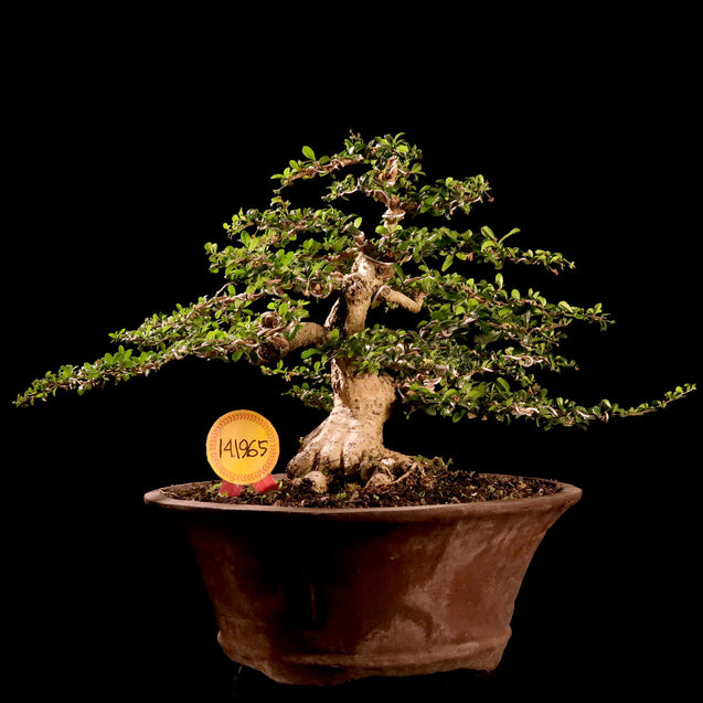 Bonsai Carmona Microphylla 14.1965 - kebunbibit