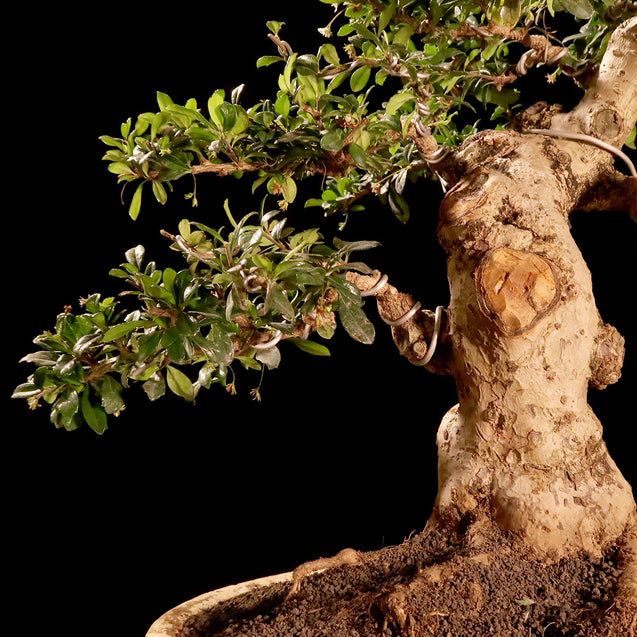 Bonsai Carmona Microphylla 14.1970 - kebunbibit