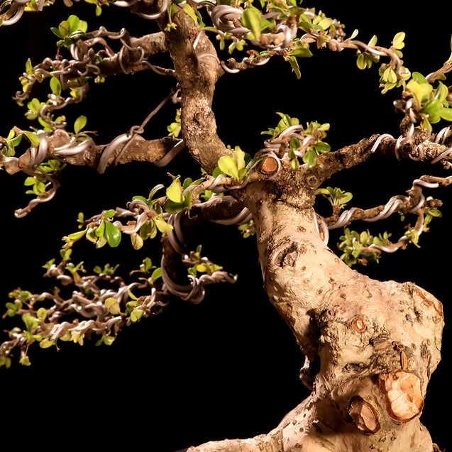 Bonsai Carmona Microphylla 14.2041 - kebunbibit