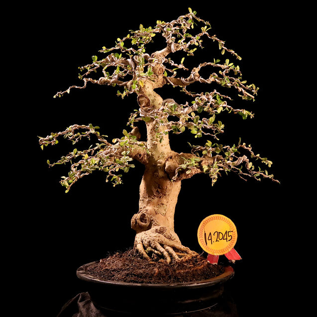 Bonsai Carmona Microphylla 14.2045 - kebunbibit