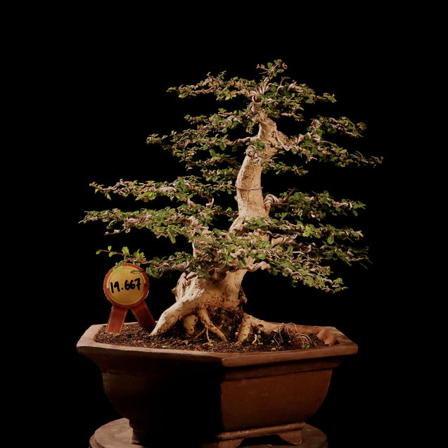 Bonsai Carmona Microphylla 14.667 - kebunbibit