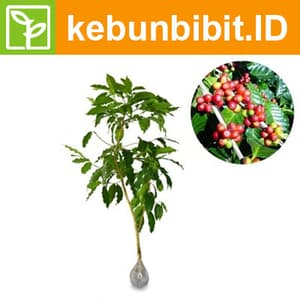 Coffea Arabica - kebunbibit