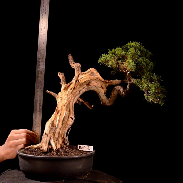 Bonsai Juniperus Chinensis Sargentii 15.02 With Tanuki* - kebunbibit
