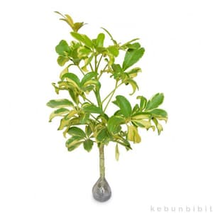 Schefflera Arboricola (Umbrella Tree) - kebunbibit