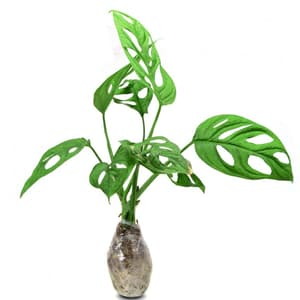 Philodendron Swiss - kebunbibit