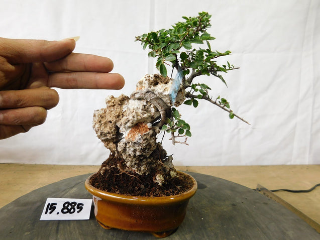 Bonsai Ulmus Lancaefolia On THE ROCK 15.885