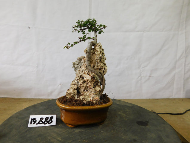 Bonsai Ulmus Lancaefolia ON THE ROCK 15.888