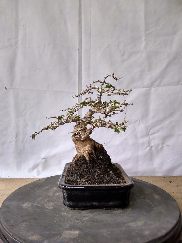 Bonsai Premna Microphyla 16.740 - kebunbibit