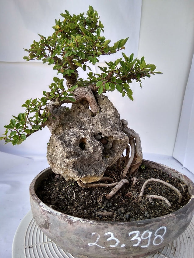 Bonsai Ulmus Lancaefolia Ref 23.398 ON THE ROCK