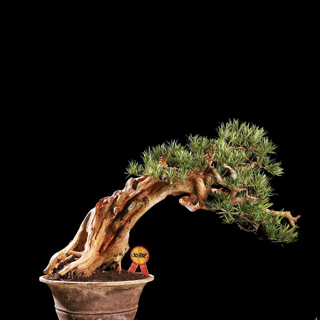 Bonsai Podocarpus Macrophyllus with Tanuki* 30.1738 - kebunbibit