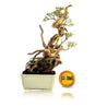 Bonsai Serissa Foetida 12.2066 With Tanuki