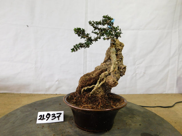 Bonsai Serissa Foetida Micro ON THE ROCK 21.937
