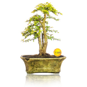 Bonsai Ligustrum Golden 17.2050 - kebunbibit