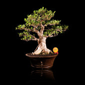 Bonsai Ficus Microcarpa J10i