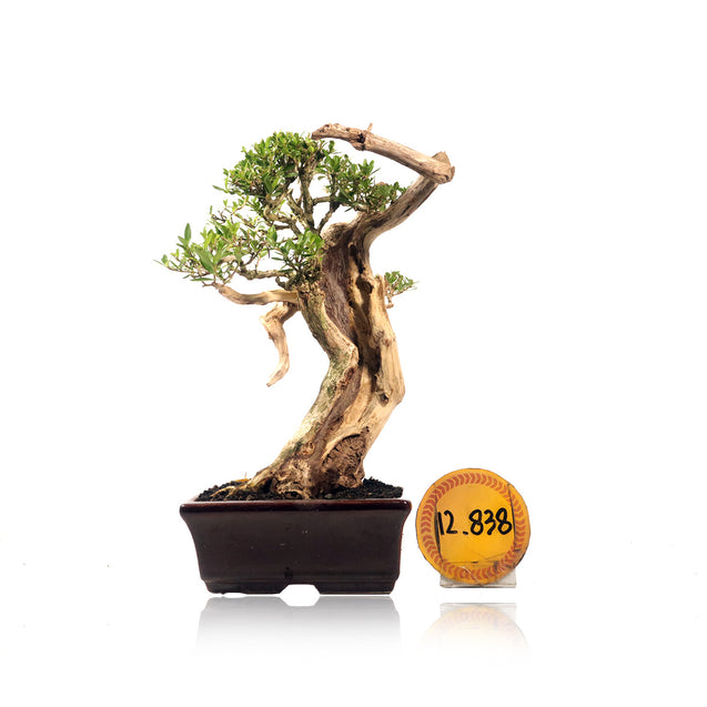 Bonsai Serissa Foetida 12.838 With Tanuki