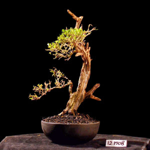 Bonsai Serissa Foetida with Tanuki 12.1508 R - kebunbibit