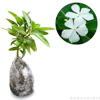 Vinca sp (White Virgin Vinca) - kebunbibit