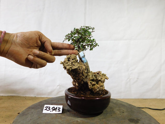 Bonsai Ulmus lancaefolia ON THE ROCK 23.943