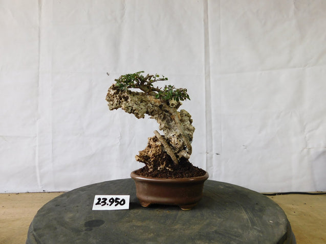 Bonsai Ulmus Lancaefolia ON THE ROCK 23.950
