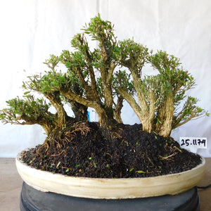 Bonsai Buxus Harlandii GROUPING 25.1174 - kebunbibit