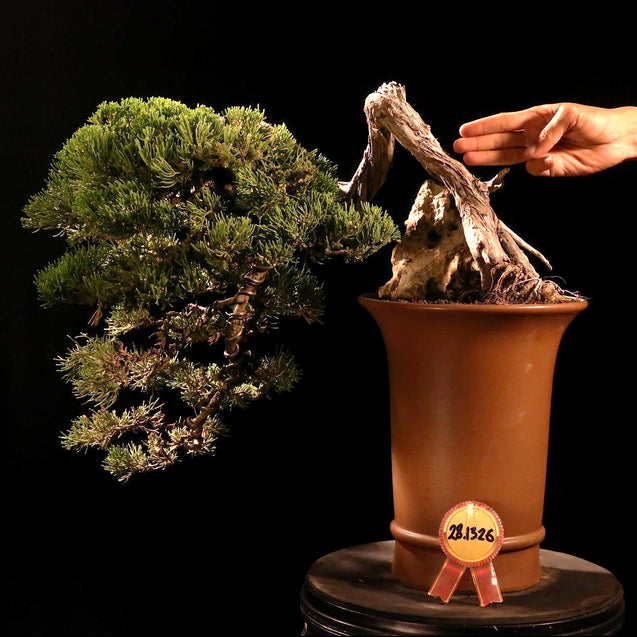 Bonsai Juniperus Chinensis Sargentii 28.1326 - kebunbibit