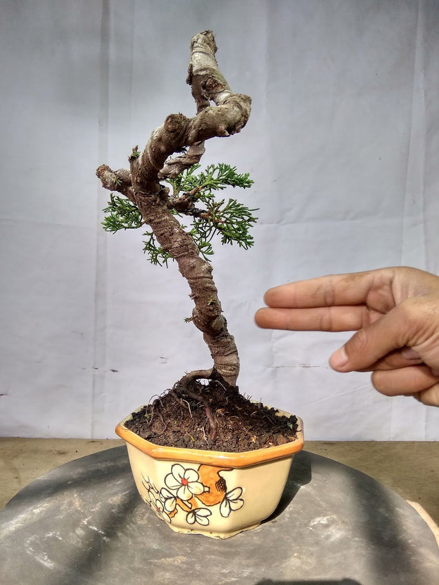 Bonsai Juniperus Chinensis Sargentii 28.661 - kebunbibit