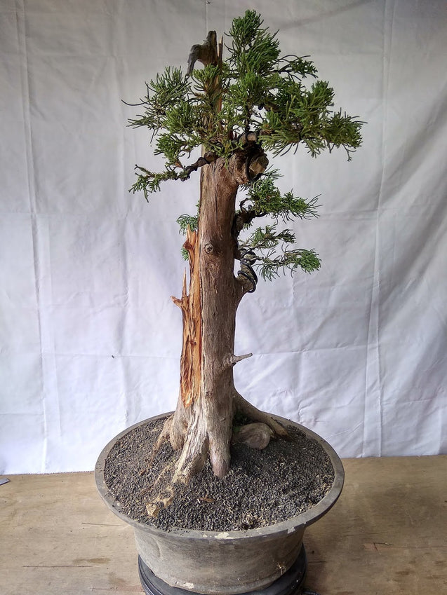 Bonsai Juniperus Chinensis Sargentii 28.739 - kebunbibit