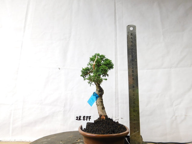 Bonsai Juniperus Sargentii 28.877 - kebunbibit