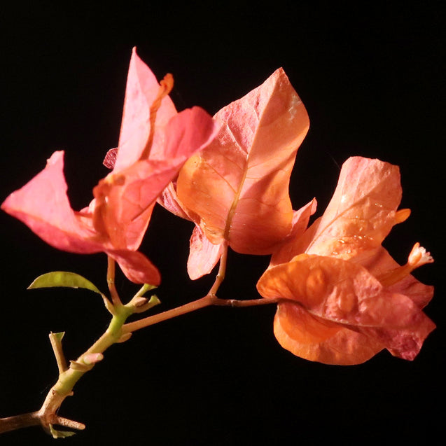 Bonsai Bougainvillea 29.1943 - kebunbibit