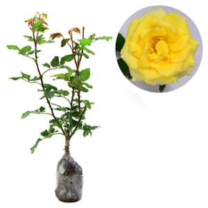 Rosa Sp (Yellow Rose) - kebunbibit