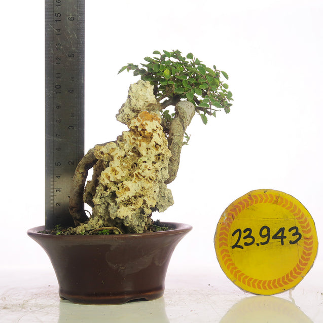 Bonsai Ulmus Lancaefolia 23.943 ON THE ROCK