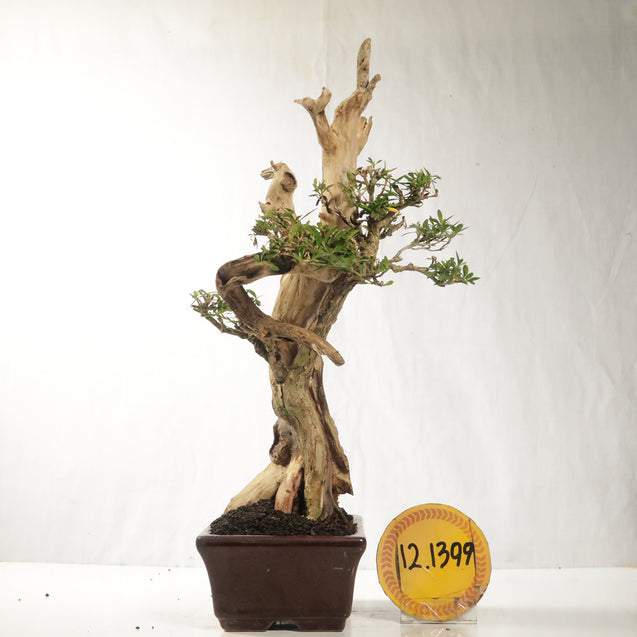 Bonsai Serissa Foetida 12.1399  With Tanuki