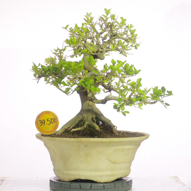 Bonsai Celtis Sinensis 39.501 - kebunbibit