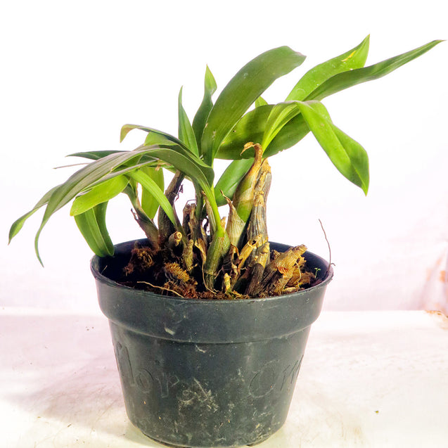 Eria Flavescens Orchid