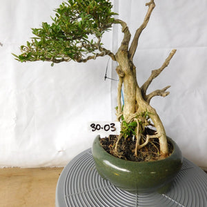 Bonsai Serissa Foetida With Tanuki 30.03 - kebunbibit