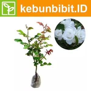 Rosa Sp (White rose) - kebunbibit